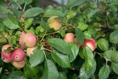 Яблоки на вале Стоковая Фотография