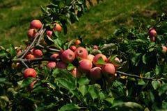 Яблоки на ветви Стоковая Фотография