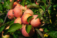 Яблоки на ветви Стоковое Изображение