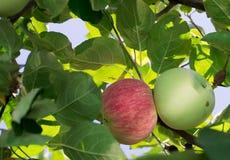 Яблоки на ветви Стоковые Фотографии RF