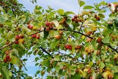 Яблоки на ветви Стоковая Фотография RF