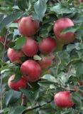 Яблоки на ветви Стоковое фото RF