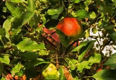 Яблоки на дереве в лете Стоковое Изображение RF