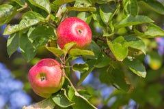 Яблоки на дереве стоковая фотография