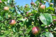 Яблоки на дереве Стоковое Изображение