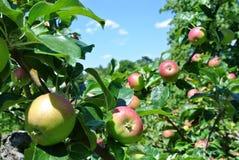 Яблоки на дереве Стоковое фото RF