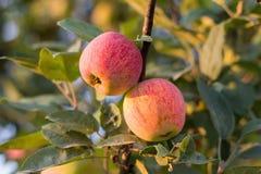 Яблоки на дереве Стоковое Изображение RF