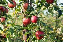 Яблоки на дереве Стоковые Фотографии RF