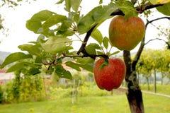 Яблоки на дереве Стоковая Фотография RF