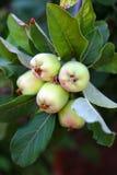Яблоки на дереве Стоковые Изображения
