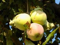 Яблоки на дереве Стоковые Изображения RF