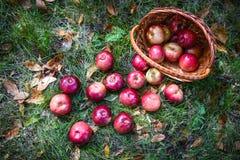 Яблоки осени стоковые изображения