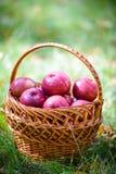 Яблоки осени стоковые изображения rf