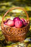 Яблоки осени Стоковая Фотография RF