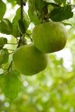 Яблоки осени Стоковое фото RF