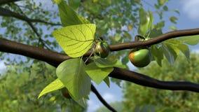 Яблоки растя Timelapse сток-видео
