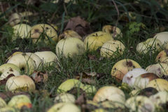 яблоки смололи тухлой Стоковое фото RF