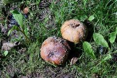 яблоки тухлые Стоковые Фото