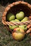 Яблоки упали от корзины на траве Стоковое фото RF