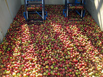 Яблоки для обрабатывать в сок в танке перед очищать стоковые фотографии rf