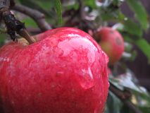 Яблоки Стоковые Изображения