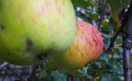 Яблоки Стоковое Изображение