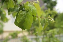 Яблоко выходит макрос с падениями, после дождя Стоковые Изображения