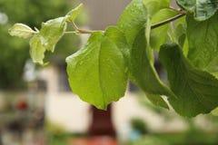 Яблоко выходит макрос с падениями Стоковые Изображения RF
