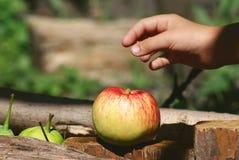 Яблоко в саде Лето Стоковые Фотографии RF