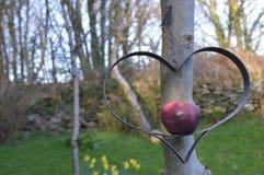 Яблоко в сердце Стоковое фото RF
