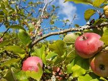 Яблоко в Autum Стоковое Фото