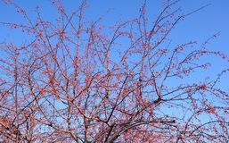 Яблоко гречихи Стоковое фото RF