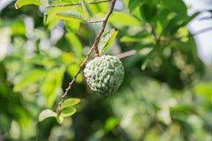 Яблоко заварного крема в саде Стоковая Фотография