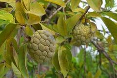 Яблоко заварного крема или яблоко сахара Стоковое Изображение RF