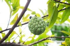 Яблоко заварного крема растя на дереве в природе стоковые изображения rf