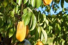 Яблоко звезды на ветви дерева стоковые изображения rf