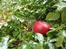 Яблоко зимы в траве Стоковые Изображения