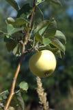 Яблоко зреет на ветви яблони на горячий летний день Вертикальные фото Стоковая Фотография RF