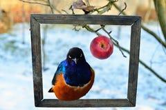 Яблоко и великолепный starling Стоковое Изображение