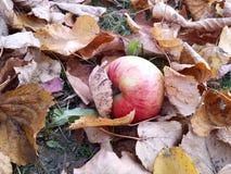 Яблоко и листья Стоковое Фото