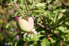 Яблоко на ветви в саде Стоковая Фотография RF