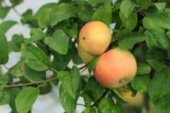 Яблоко на ветви Стоковые Изображения