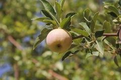Яблоко на ветви Стоковое Изображение