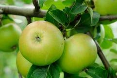 Яблоко на ветви Стоковое Фото