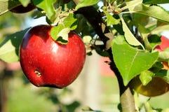 Яблоко на ветви Стоковое фото RF
