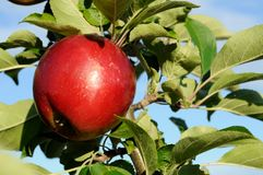 Яблоко на ветви Стоковые Фотографии RF