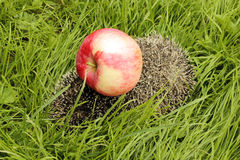 Яблоко на еже Стоковая Фотография RF