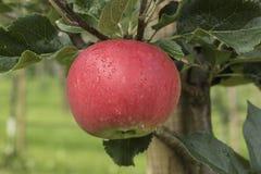 Яблоко на дереве в Aurland - Норвегии Стоковые Фотографии RF