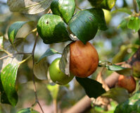 Яблоко обезьяны зрелое Стоковое Фото