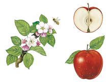 Яблоко: плодоовощи, цветки и ветвь Стоковые Изображения RF